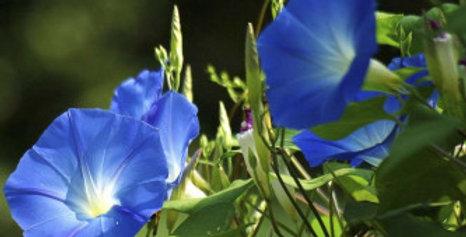 Ipomea Heavenly Blue