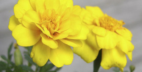 French Marigold Yellow(Tagetes Nana Petula)