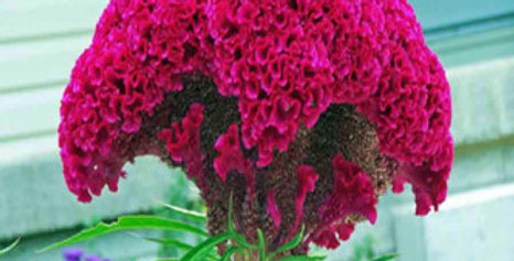 Celosia Cockscomb Dwarf Mix NM