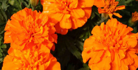 Marigold French Orange NM