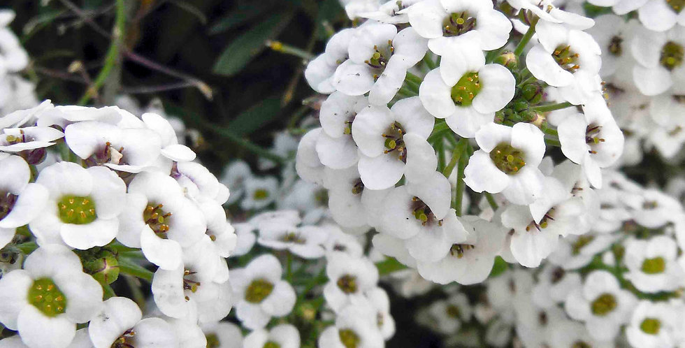 Alyssum Sweet White