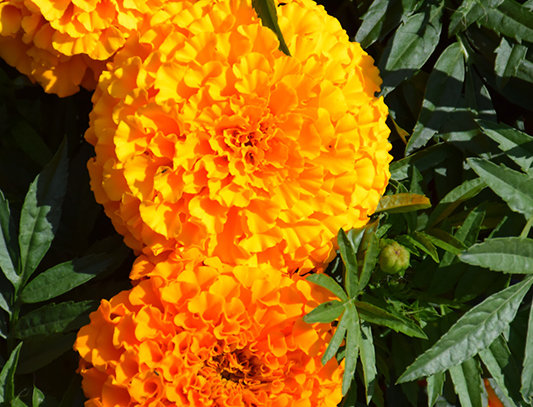 Marigold F1 Taishan Orange Hybrid