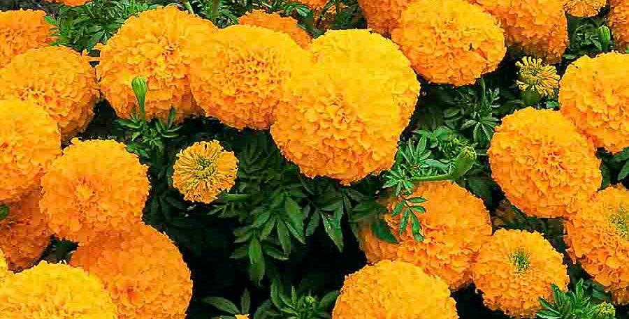 Marigold Double Dwarf F2 Orange NM