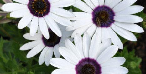 Dimorphoteca Glistening White NM