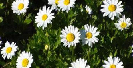 Chrysanthemum paludosum NM