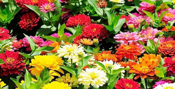 Zinnia Pulcino Dwarf Double Mix