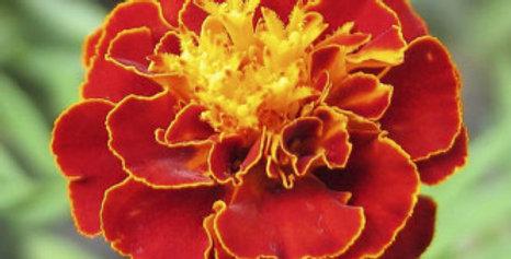 Marigold petula Scarlet Red