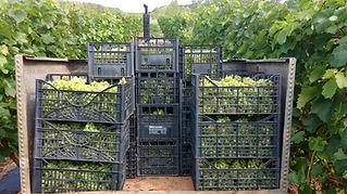 trevozah juice cornish white grapes