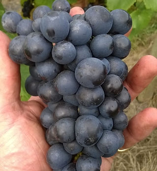 trevozah juice cornish red grapes