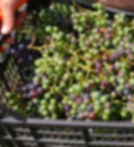 trevozah verjus grapes
