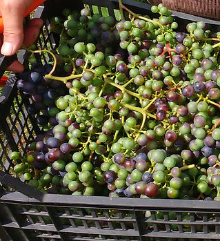 trevozah verjus grapes