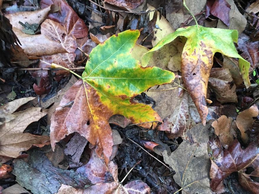 sycamore-leaves.jpg