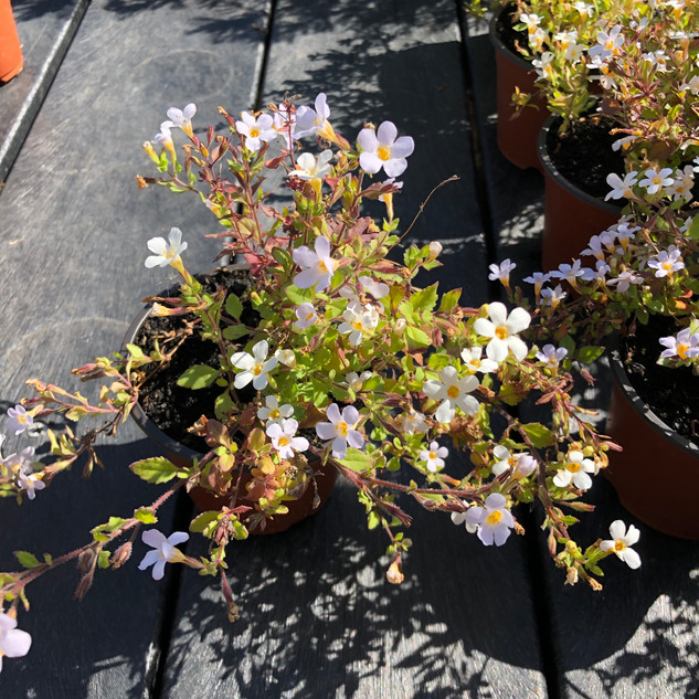 Topia Bacopa £2.50