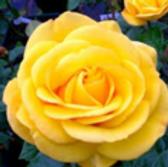 arthur bell floribunda rose.png