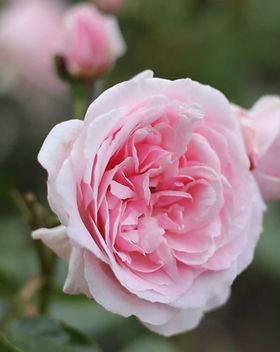 sir walter rose_edited.jpg