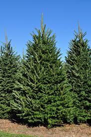 Abies Fraseri whole tree