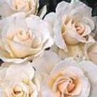 margaret merril floribunda rose.jpg