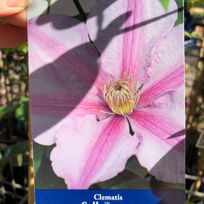 Clematis Sally £12.99