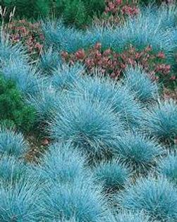 Festuca blue.jpg