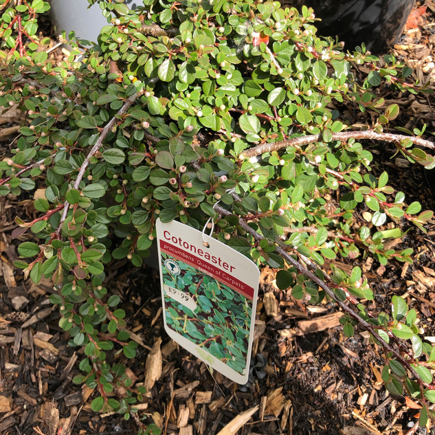 Cotoneaster £9.99