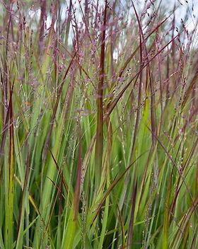 Panicum grass.jpg