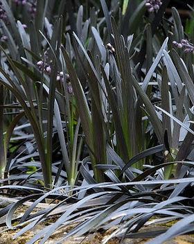 black grass.jpg