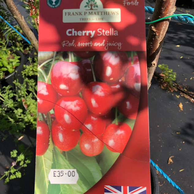 Cherry stella (8-9' high) £35