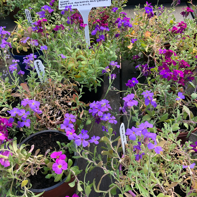 Aubrieta Royal Mix £2.99