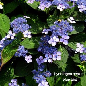 Hydrangea blue bird