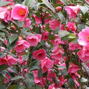 camellia williamsii 'donation' £14.99
