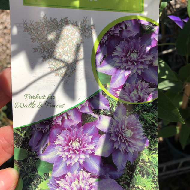 Clematis Shikoo £12.99