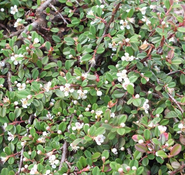 cotoneaster Queen of carpets £9.99