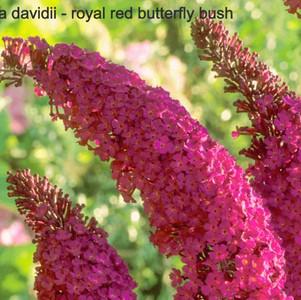 buddleja royal red