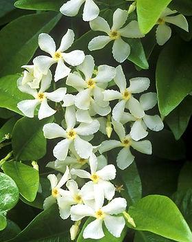 trachelospermum jasminoides.jpg