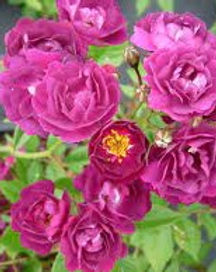 Perennial blue_edited.jpg
