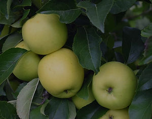 Apple%20Greensleeves_edited.jpg