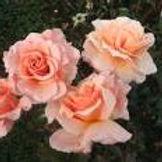 great expectations floribunda rose.jpg
