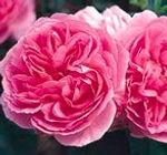 sir walter raleigh english rose.jpg