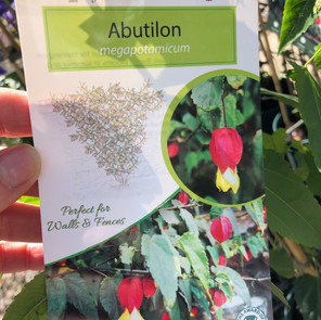 Abutilon (trailing Abutilon) megapotanicum £11.50