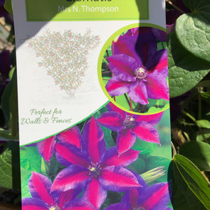 Clematis Mrs N. Thompson £11.50