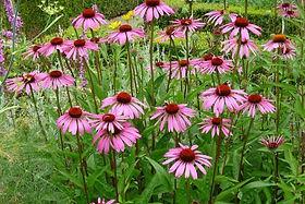 Echinacea _pupurea_.jpg