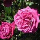 birthday boy rose HT rose.jpg