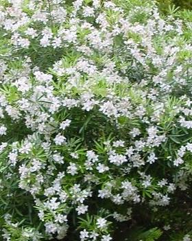 Choisya-Aztec-Pearl.png