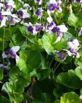 Australian violet.jpeg