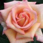 scent sation rose HT rose.png