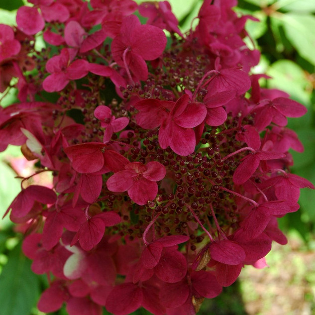 hydrangea macrophylla wims red £15