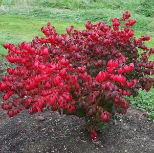 Euonymus alatus £12.50