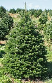 Abies Nordman tree
