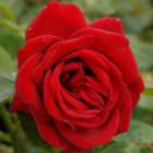 loving memory rose HT rose.png