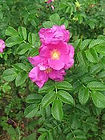 Rosa rugosa.jpeg